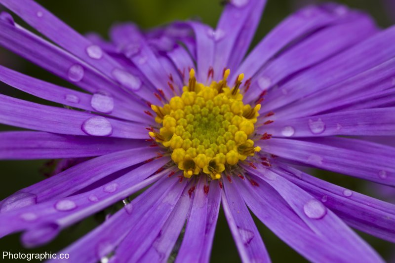 Species of Aster