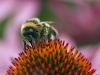 Bumble Bee on Echinacea Purpurea