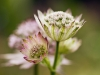 Species of Astrantia