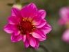 Species of Dahlia