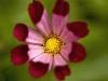 cosmos-bipinnatus-brooklyn-botanical-gardens-2007