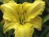 hemerocallis-ny-botanical-gdns-july-2007