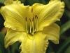 hemerocallis-ny-botanical-gdns-july-2007