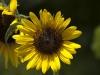 sun-flower-fort-tryon-park-july-2007