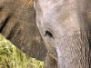 Elephant at Inyati