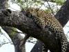 Leopard at Inyati