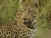 leopard-inyati-2008