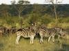 Zebra at Inyati