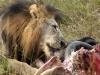 Lion easting dinner