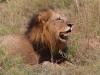Lion at Inyati
