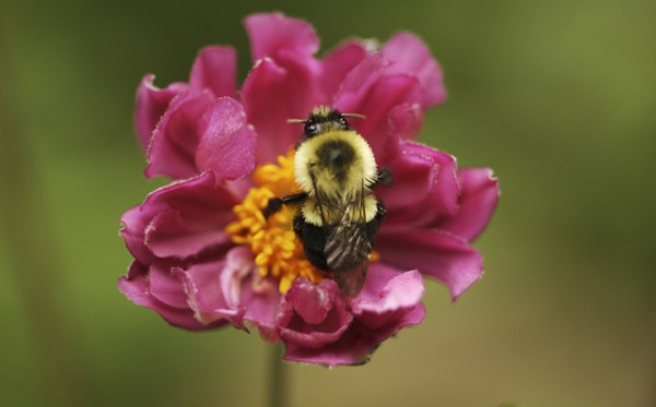 Anemone and the Bumble Bee