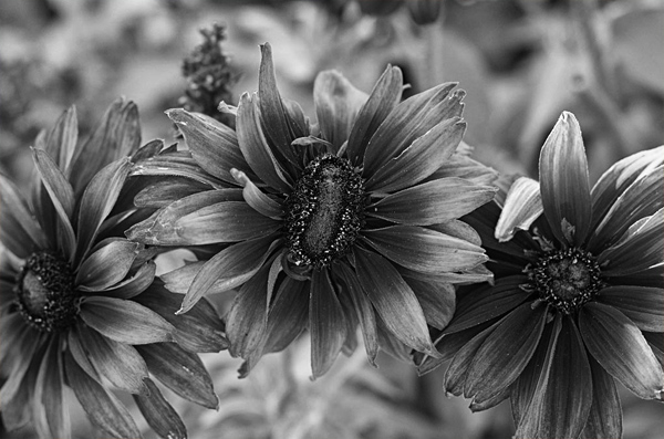 Burnt Orange Helianthus in B&W