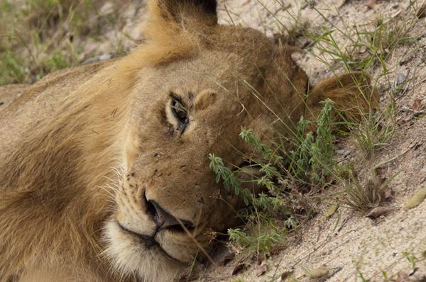 Lions at Inyati Game Reserve
